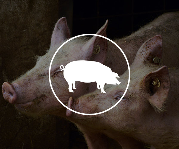 SWINE USE CASE